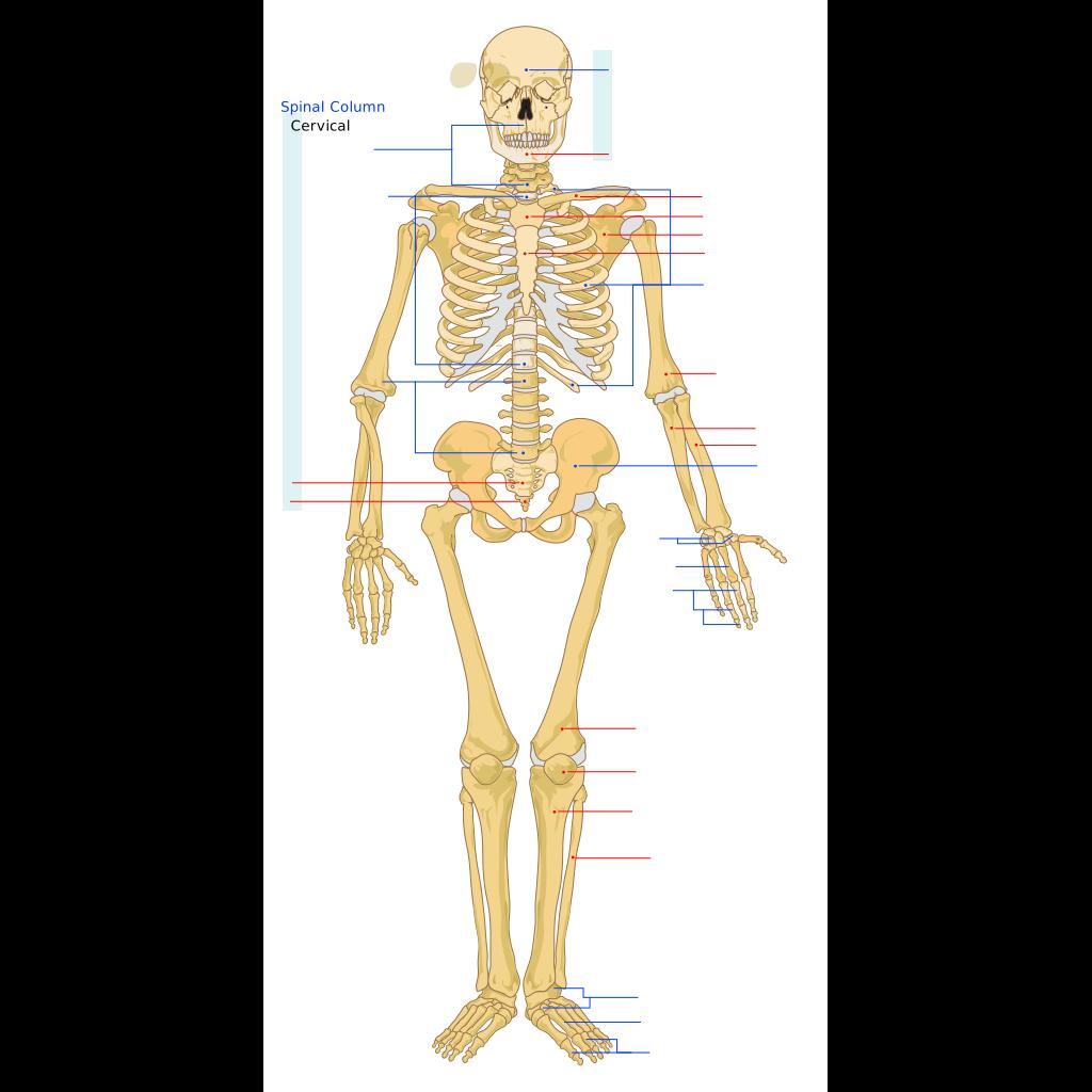 Human Skeleton Front En SVG Clip arts