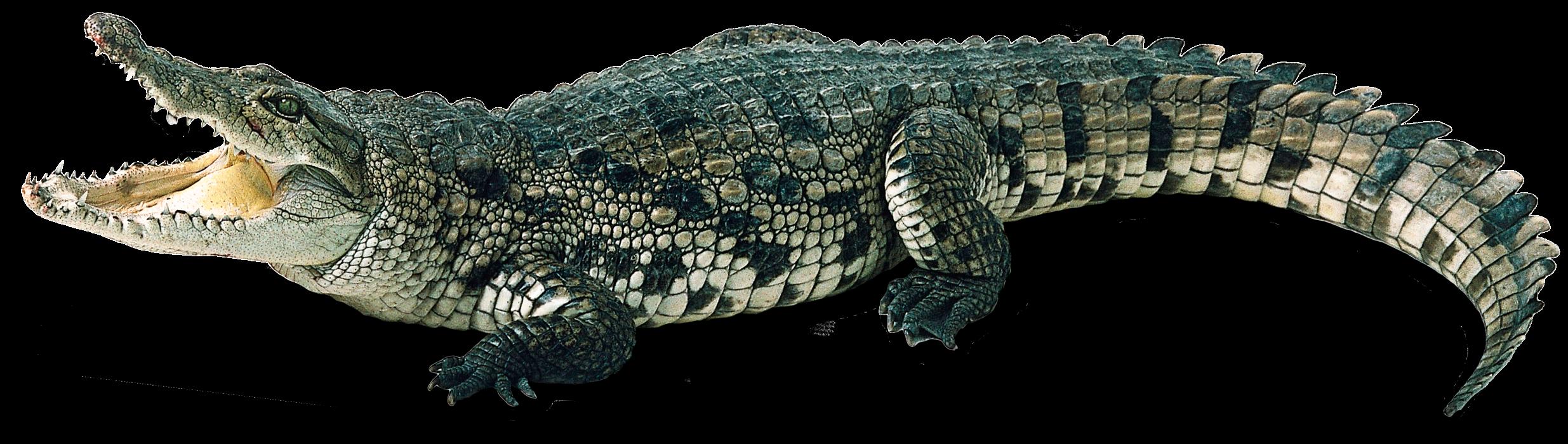 Alligator Background PNG SVG Clip arts