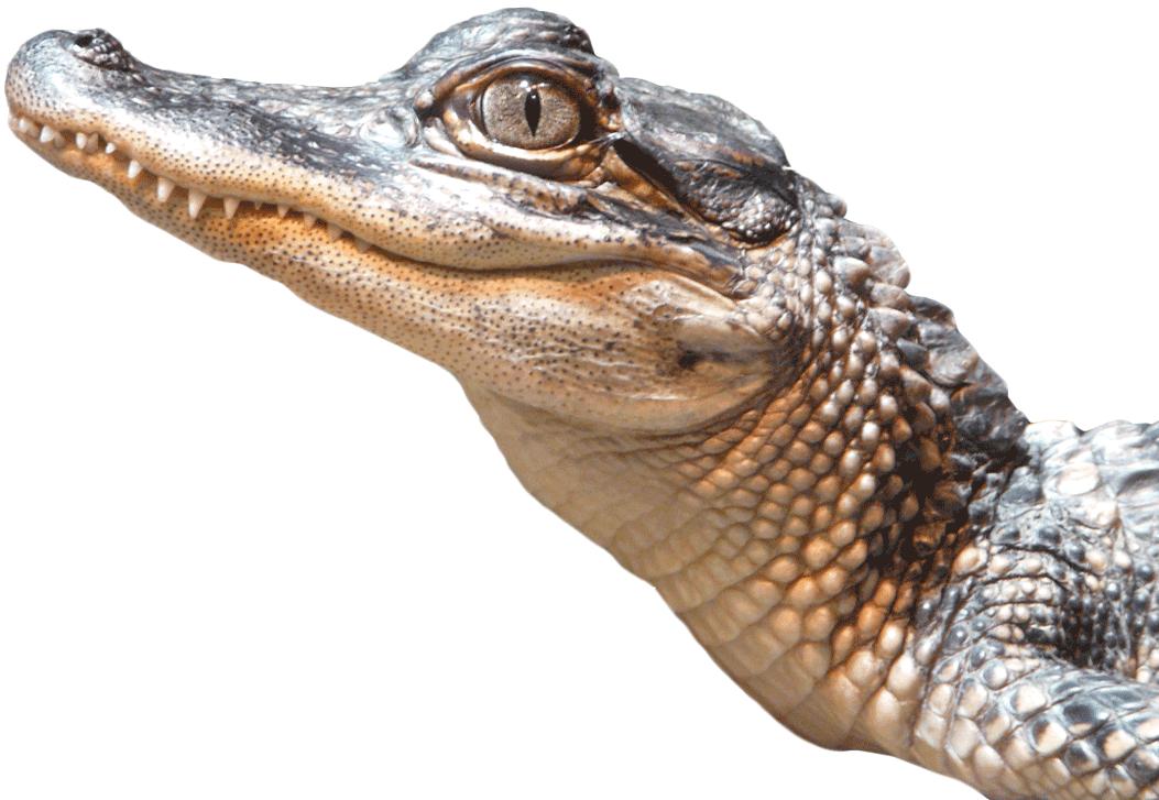 Alligator PNG Transparent Image SVG Clip arts