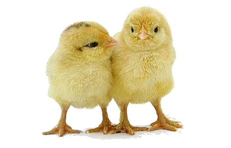 Baby Chicken PNG Photos SVG Clip arts