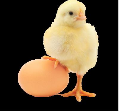 Baby Chicken PNG Transparent Image SVG Clip arts