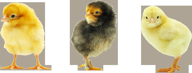 Baby Chicken Transparent Background SVG Clip arts