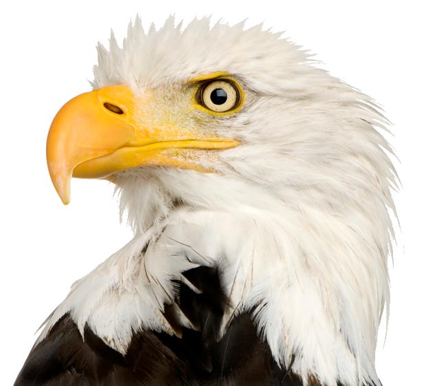 Bald Eagle PNG Transparent SVG Clip arts