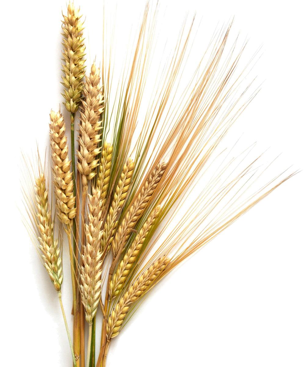 Barley Transparent Background SVG Clip arts