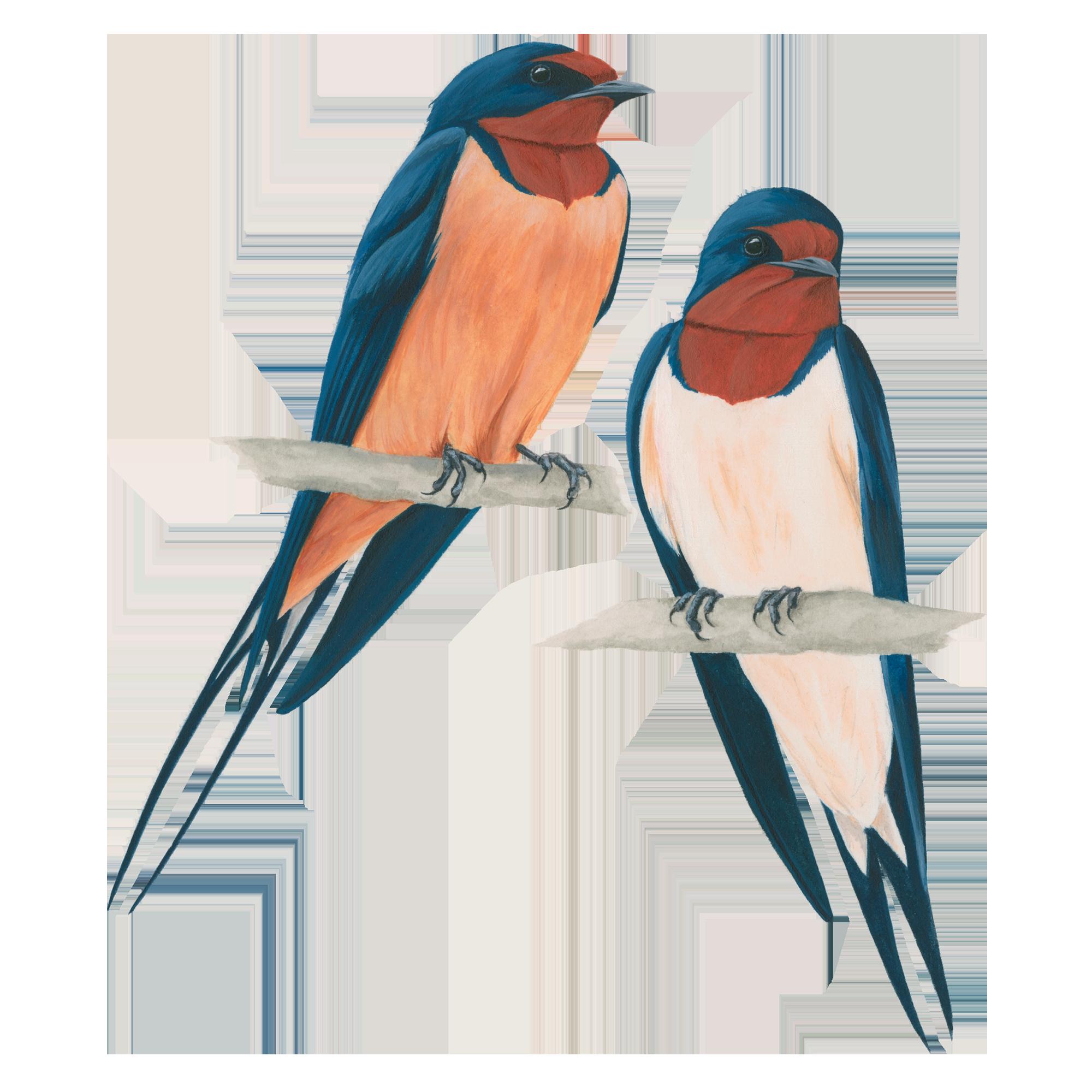 Barn Swallow Transparent PNG SVG Clip arts