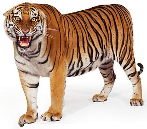 Bengal Tiger PNG Clipart SVG Clip arts