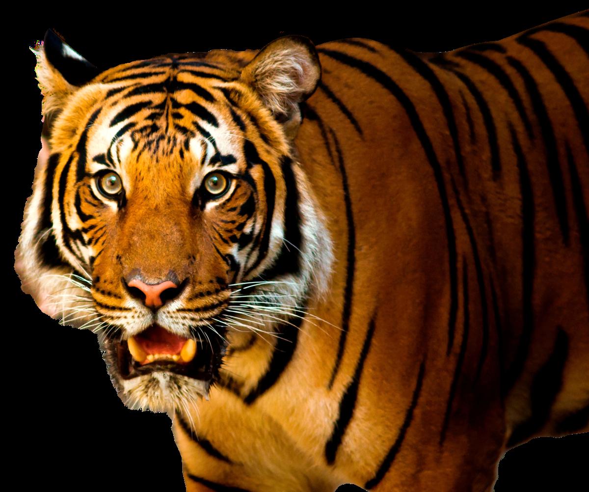Bengal Tiger PNG HD SVG Clip arts