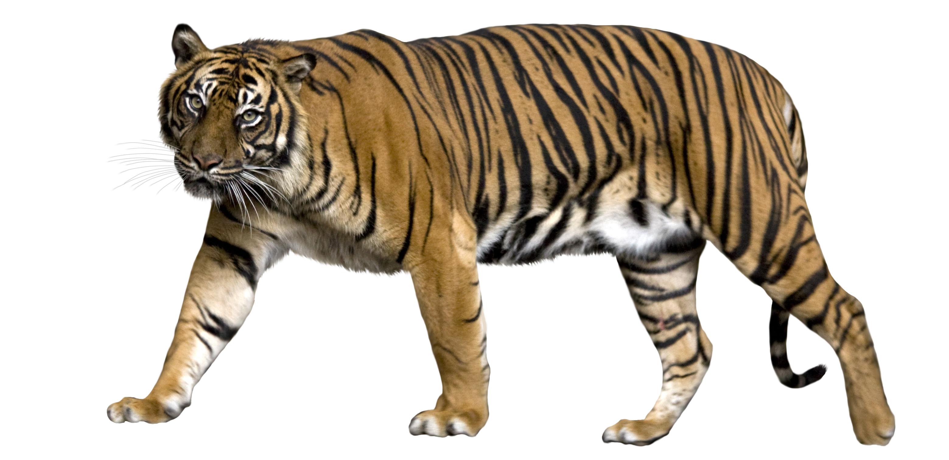 Bengal Tiger PNG Picture SVG Clip arts