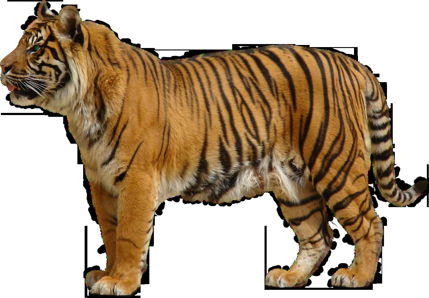 Bengal Tiger Transparent PNG SVG Clip arts