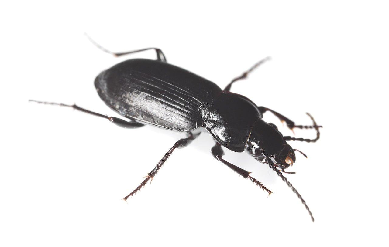 Black Beetle PNG HD SVG Clip arts