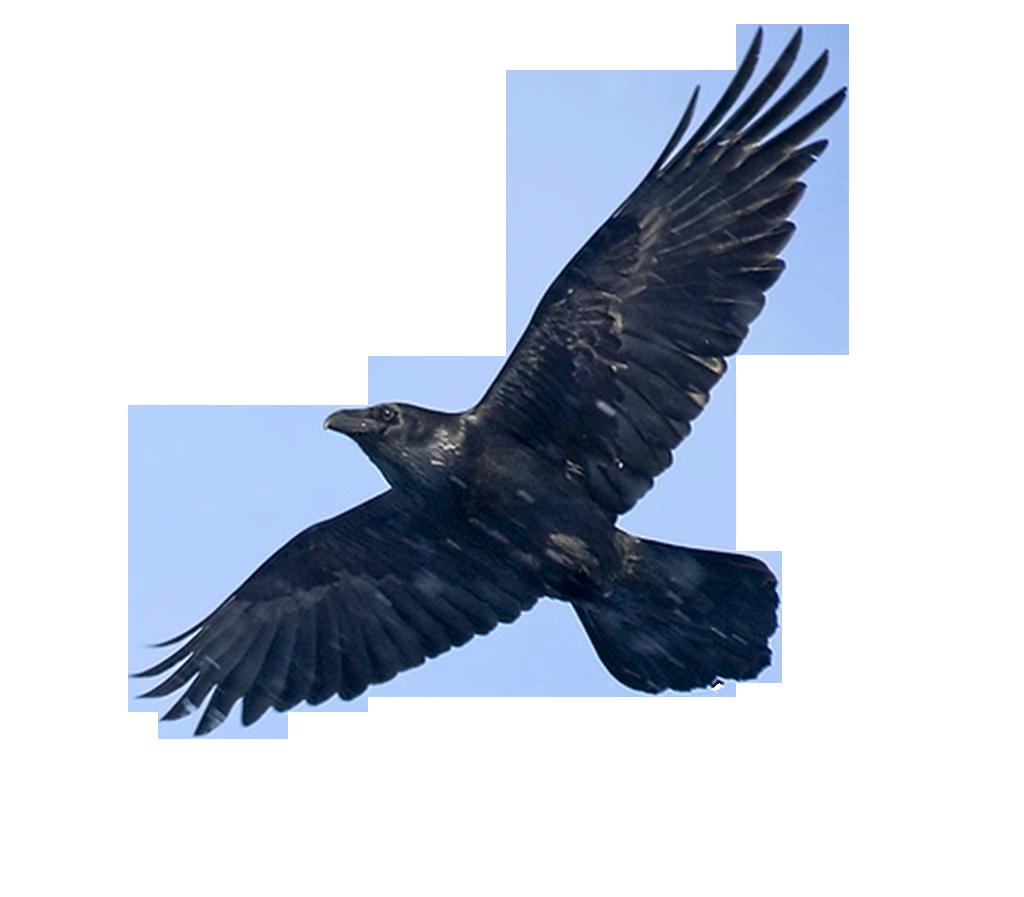 Blackbird PNG Image SVG Clip arts