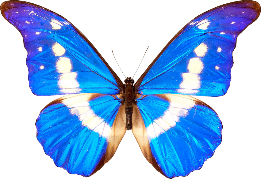 Butterfly Transparent PNG SVG Clip arts