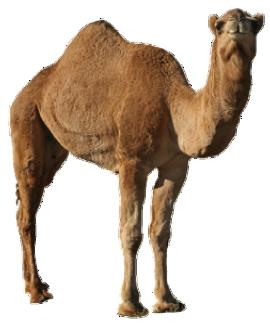Camel PNG Picture SVG Clip arts