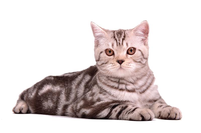 Cat Sitting PNG SVG Clip arts