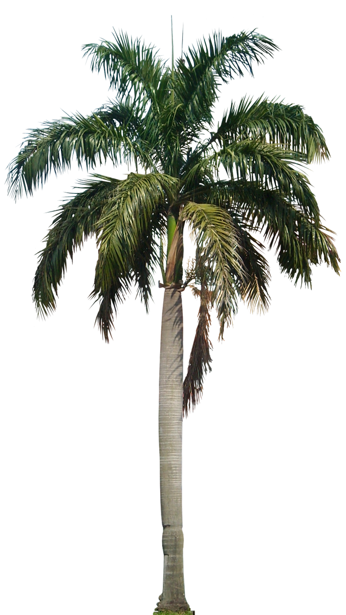 Coconut Tree PNG HD SVG Clip arts