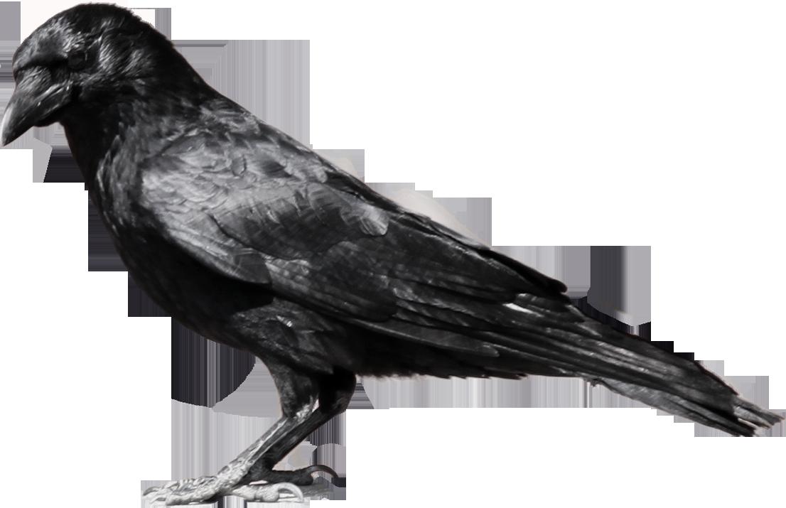 Common Raven PNG File SVG Clip arts