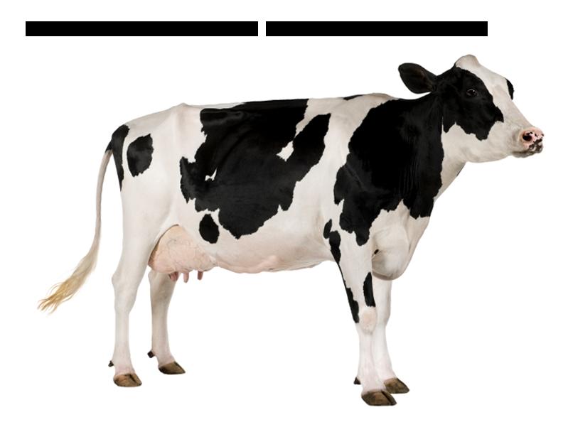 Cow PNG Photos SVG Clip arts