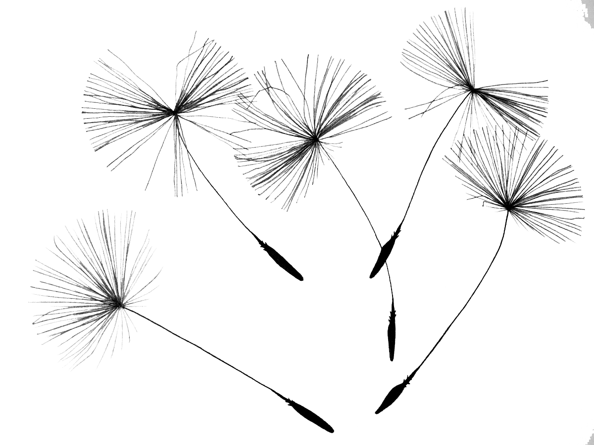 Dandelion PNG Photo SVG Clip arts