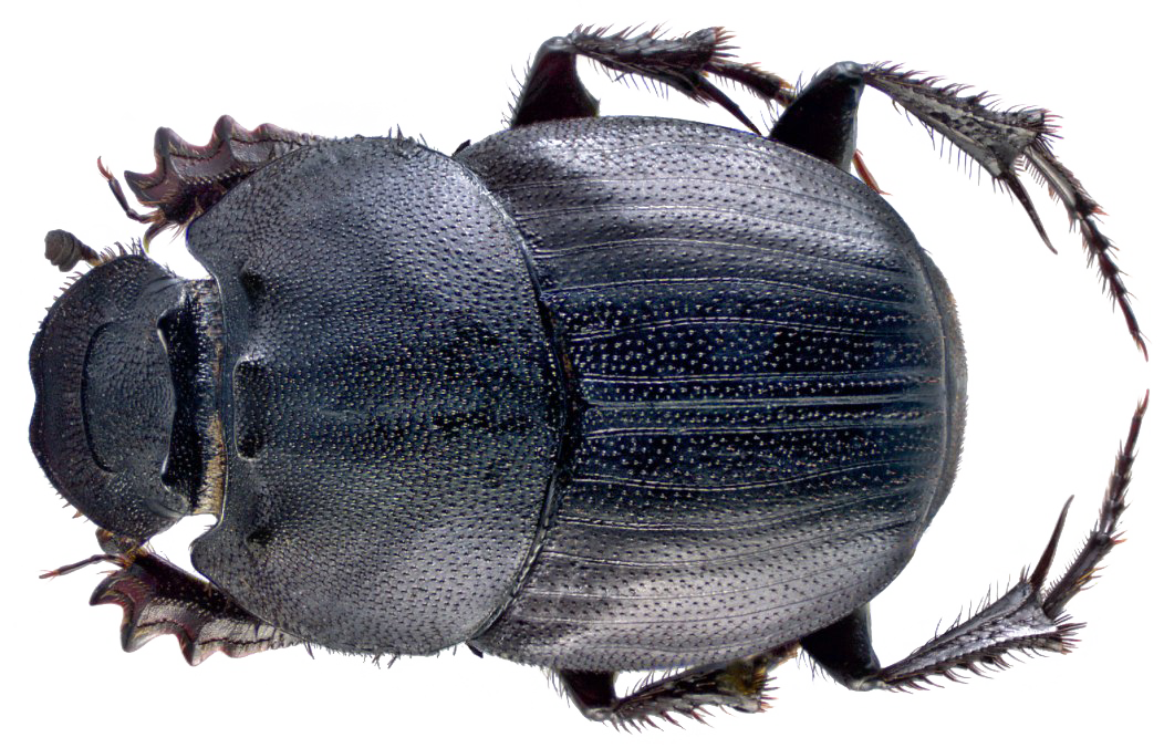 Dung Beetle PNG File SVG Clip arts