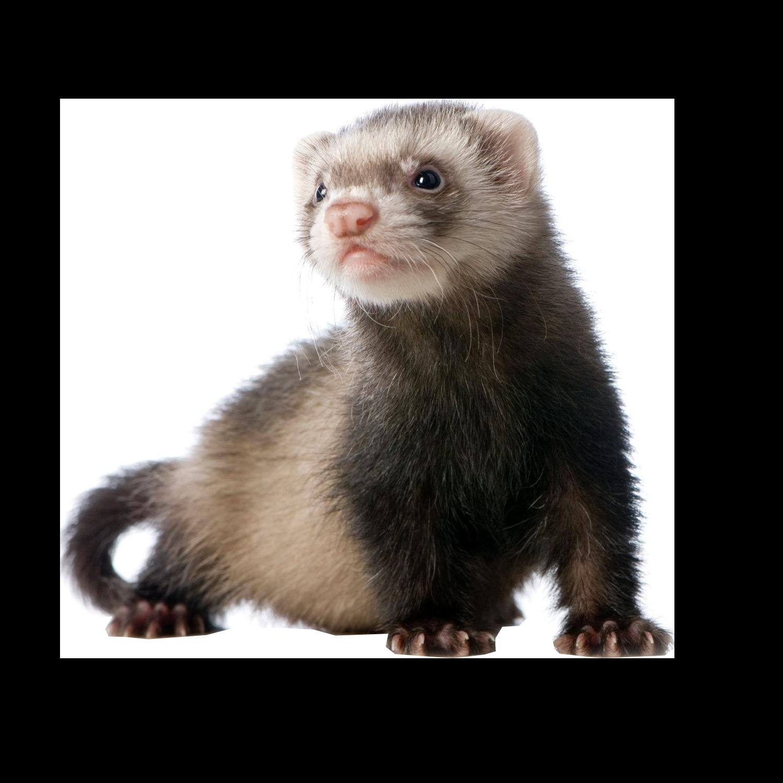 Ferret Download PNG Image SVG Clip arts