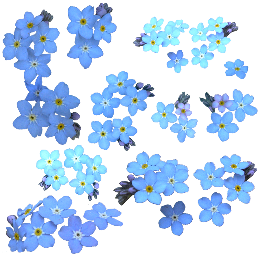 Forget Me Not PNG Clipart SVG Clip arts