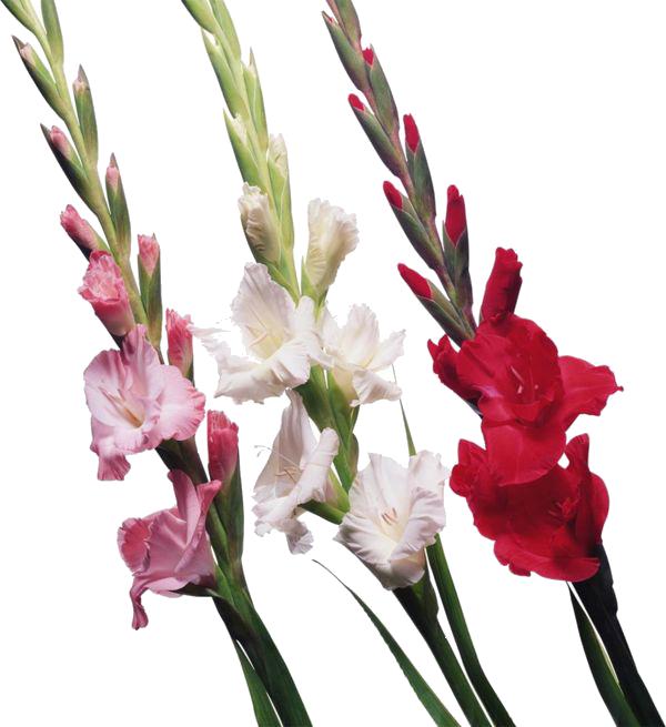 Gladiolus PNG File SVG Clip arts
