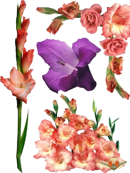 Gladiolus PNG Photos SVG Clip arts