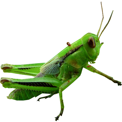 Grasshopper Transparent PNG SVG Clip arts