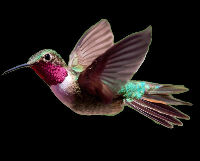 Hummingbird PNG Transparent HD Photo SVG Clip arts