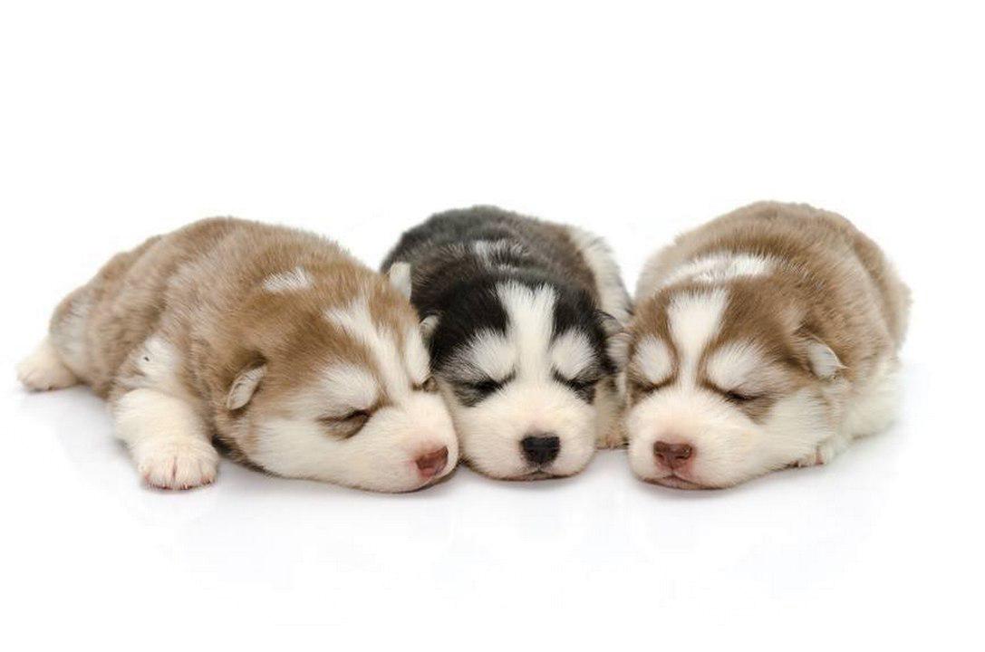Husky PNG Background SVG Clip arts