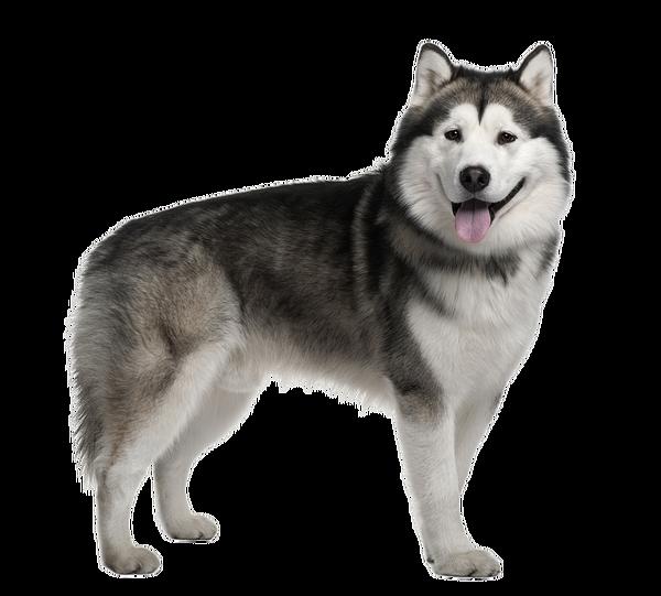 Husky PNG Image Free Download SVG Clip arts