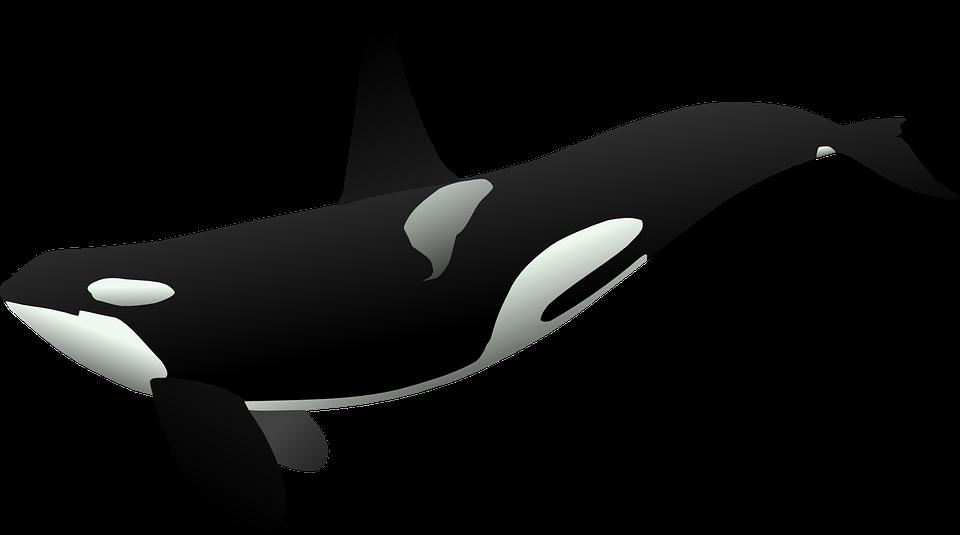 Killer Whale Background PNG SVG Clip arts