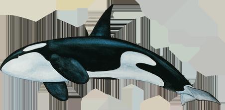 Killer Whale PNG Free Download SVG Clip arts