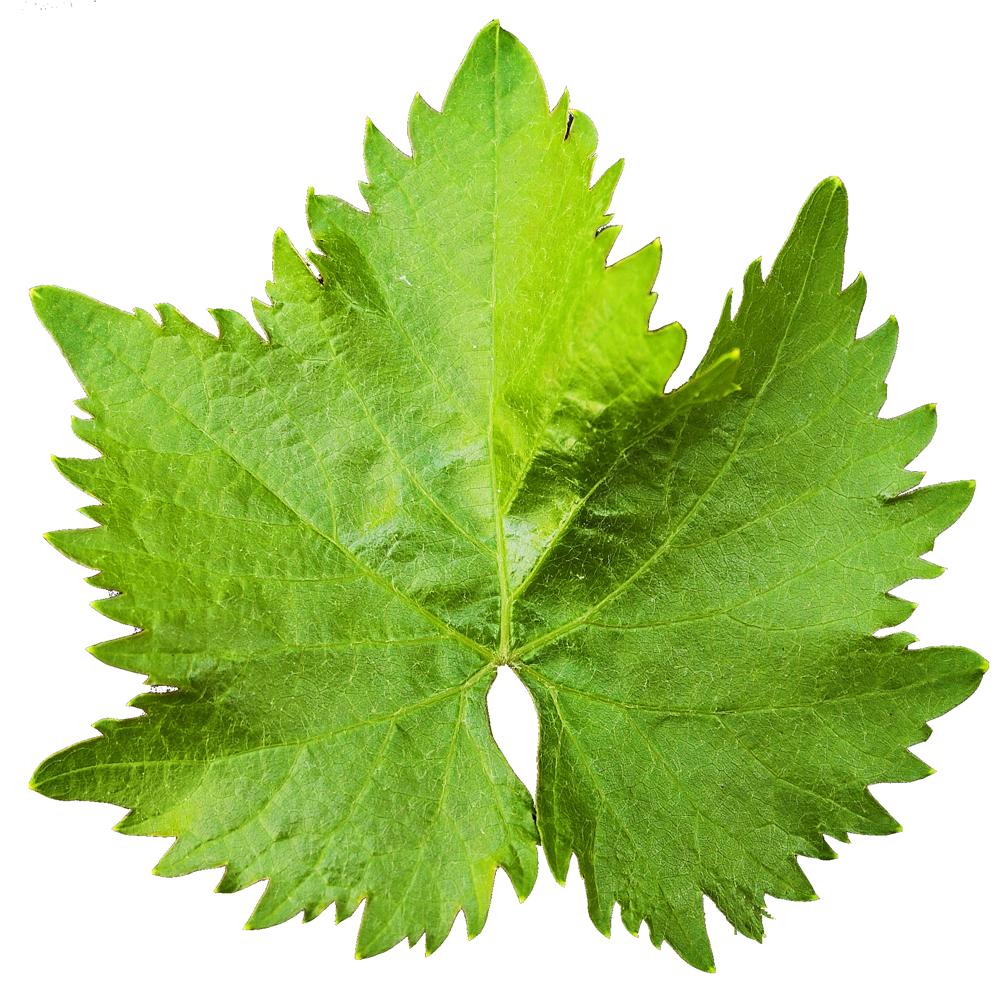 Leaf PNG Transparent Image SVG Clip arts