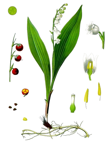 Lily of The Valley PNG Transparent Image SVG Clip arts