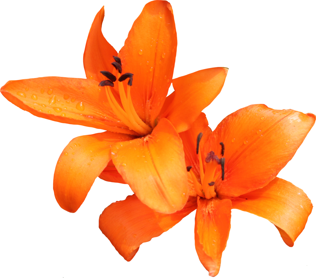 Lily PNG Photo SVG Clip arts