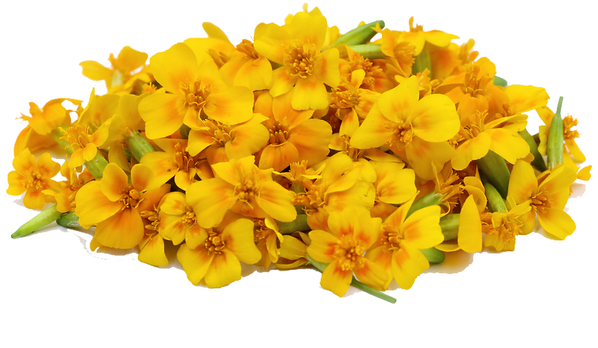 Marigold PNG File SVG Clip arts