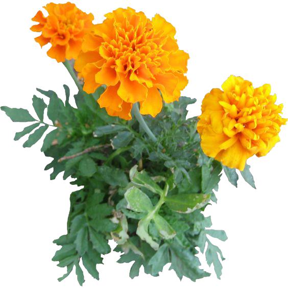 Marigold PNG Image SVG Clip arts