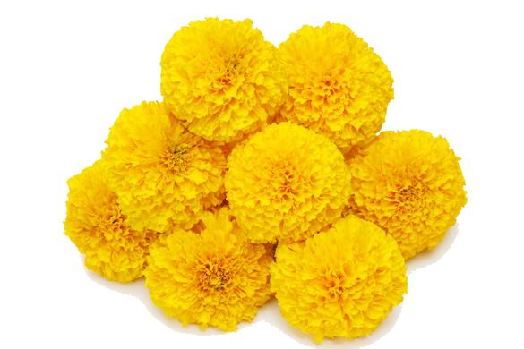 Marigold Transparent Background SVG Clip arts