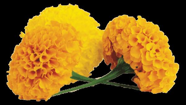Marigold Transparent PNG SVG Clip arts