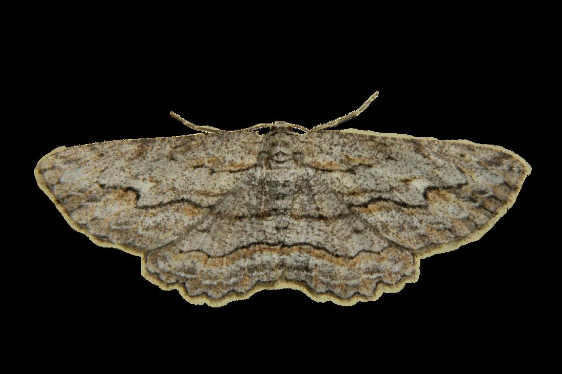 Moth PNG Photo SVG Clip arts