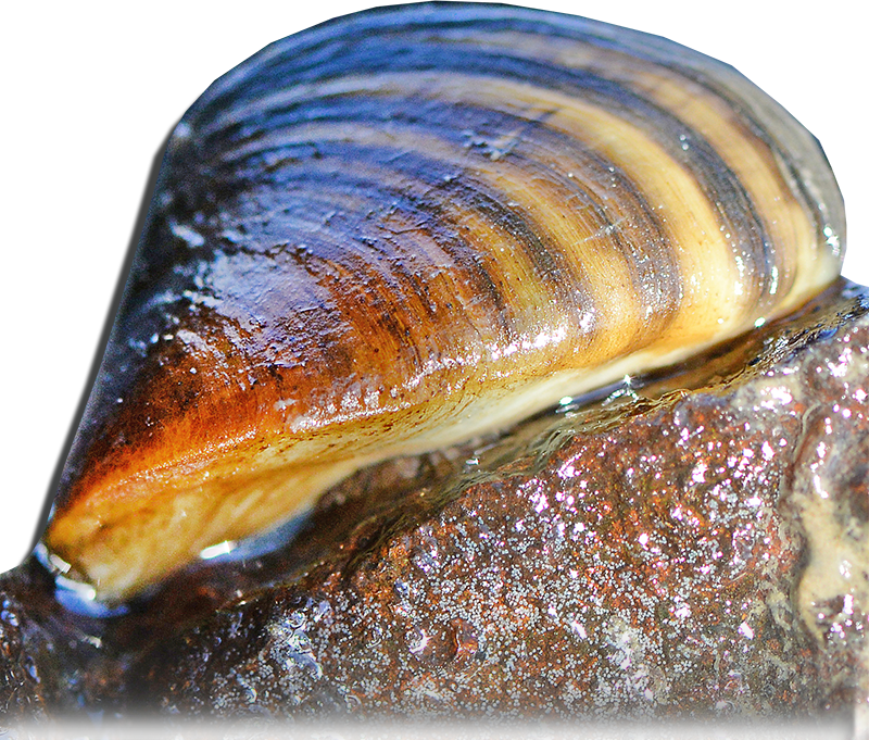 Mussel PNG Transparent HD Photo PNG file