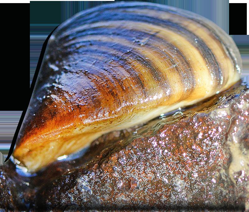 Mussel PNG Transparent HD Photo SVG Clip arts
