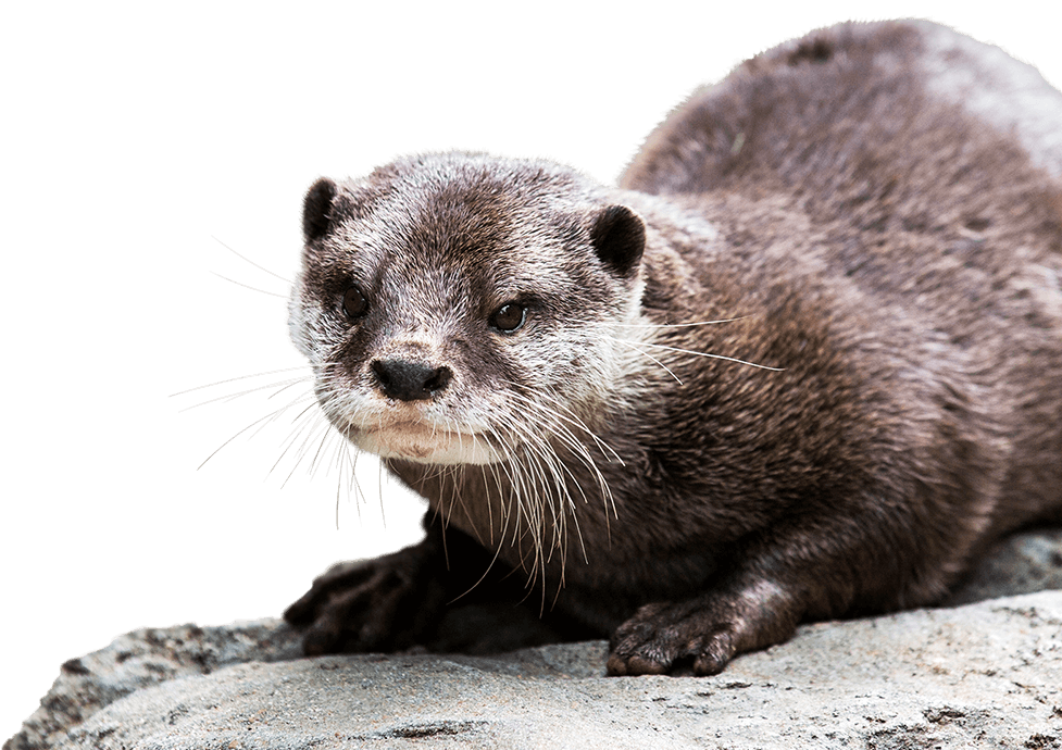 Otter Background PNG PNG file