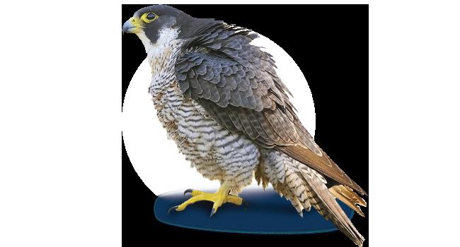 Peregrine Falcon PNG Photo SVG Clip arts