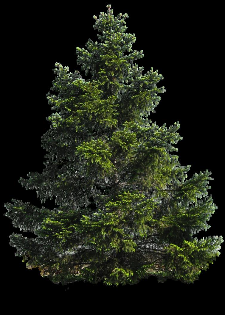 Pine Tree PNG Image SVG Clip arts