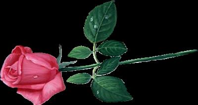 Pink Rose PNG Transparent Image PNG, SVG Clip art for Web - Download Clip Art, PNG Icon Arts