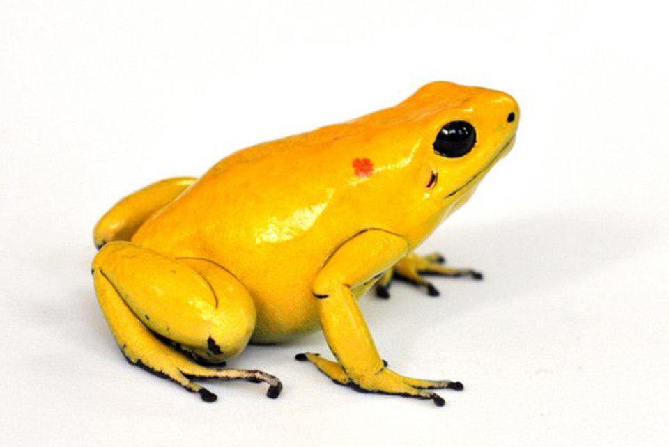 Poison Dart Frog Download PNG Image SVG Clip arts