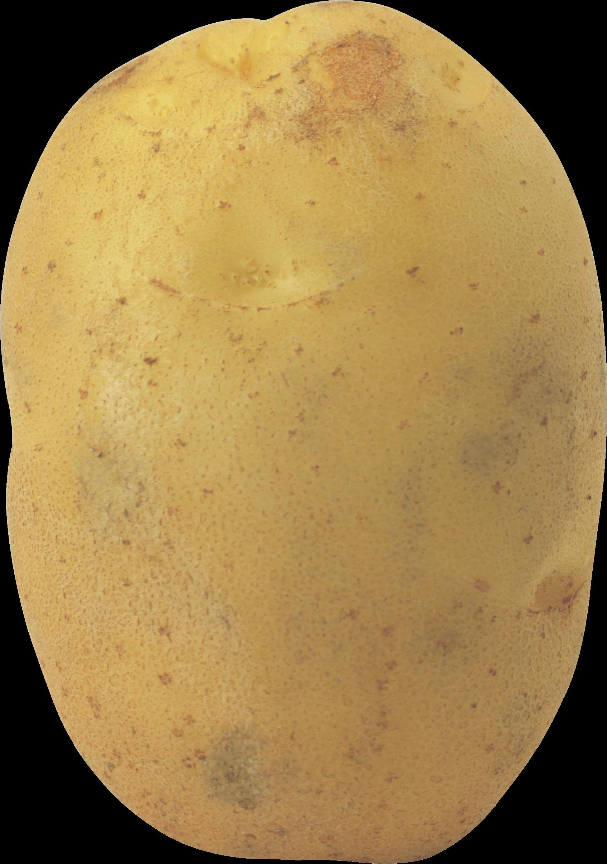 Potato PNG Photos SVG Clip arts