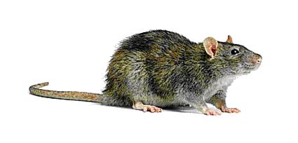 Rat Transparent Background SVG Clip arts